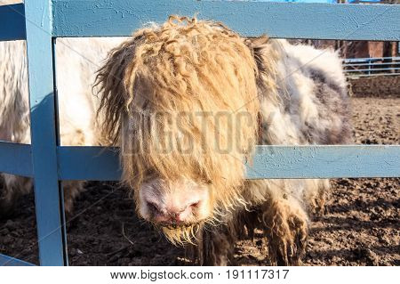 Close up young domestic yak or Bos Grunniens in zoo