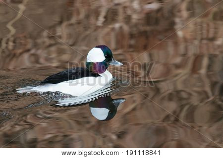 Bufflehead Drake swimming in a calm pond with reflections