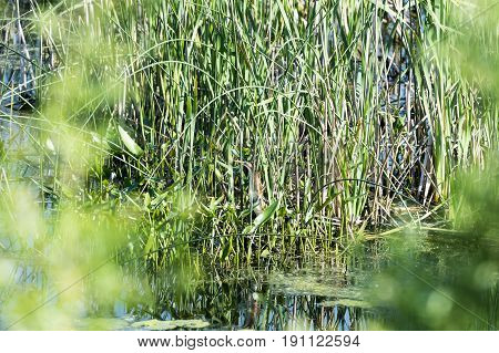 Least Bittern partly camouflaged by reeds in marsh