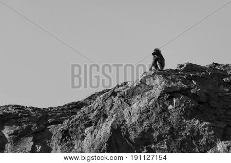 A big male baboon sit on a high rock to look-out for danger