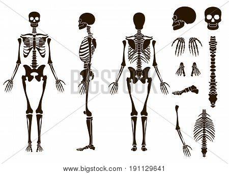 Human bones skeleton structure elements set. Skull collection. Vector illustration eps10