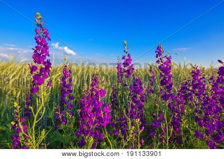 Purple flowers in wheat field blooming weed plants in cultivated crops plantation
