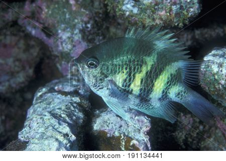 a Staghorn Damselfish, (Amblyglyphidodon curacao) swims along a coral reef at the Kwajalein Atoll in the Pacific