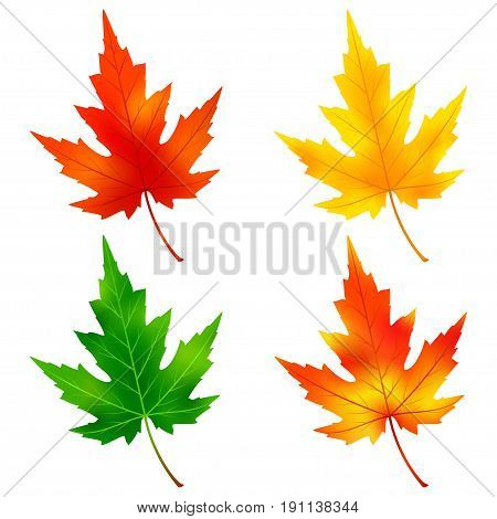 Set of different colorful autumn and summer maple tree leaves isolated on white background. Nature design elements. Vector illustration