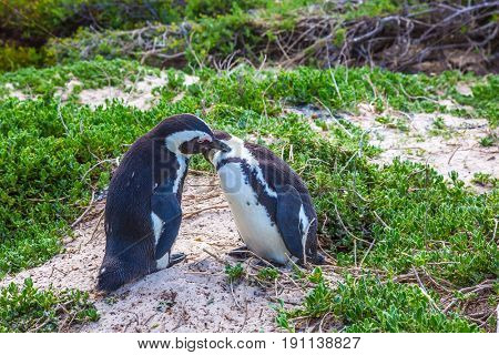 Gentle penguin pair. Boulders Penguin Colony. Black-white penguins on the beach of Atlantic Ocean. The concept of ecotourism