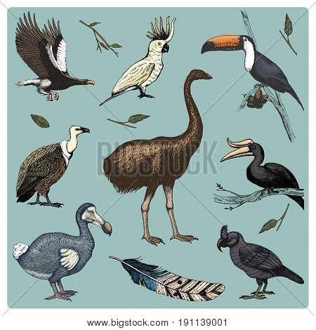 hand drawn vector realistic bird, sketch graphic style, set of domestic. griffon vultures and broad-billed parrot. rhinoceros hornbill and extinct species. moa, dodo and feather. Nest with eggs