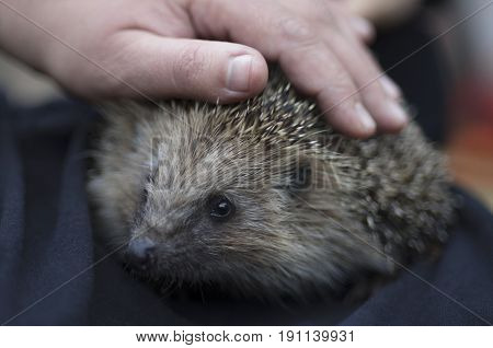 A young hedgehog with curiosity looks around from under the palm of the person.