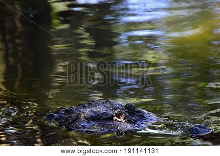 American Alligator swimming in a swamp slowly