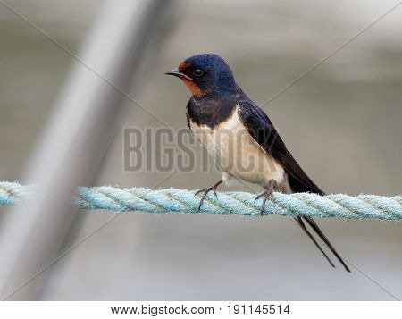 Barn swallow on a rope in the harbor - Hirundo rustica