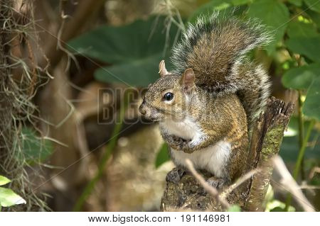 Portrait of a Squirrel in a tree