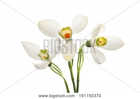 Spring snowdrop flower. Isolated on white.