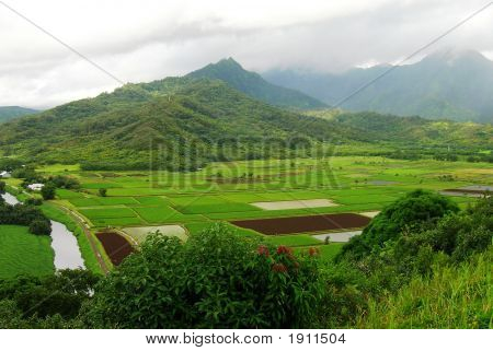 Hawaiin Taro fields line the landscape on Oahu showing the cultural preference for this tropical edible tuber. poster