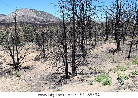 Charcoaled landscape with a burnt Pine Forest caused from a wildfire taken in the Sierra Nevada Mountains, CA