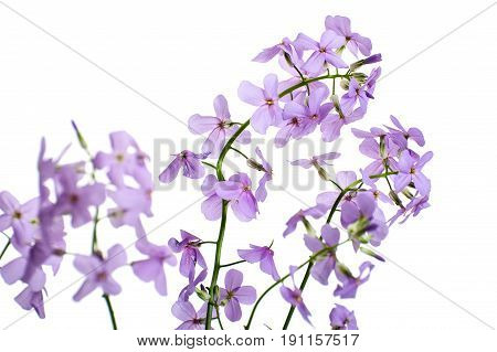 Flowers Of Hesperes (night Violet) On A Clean White Background..