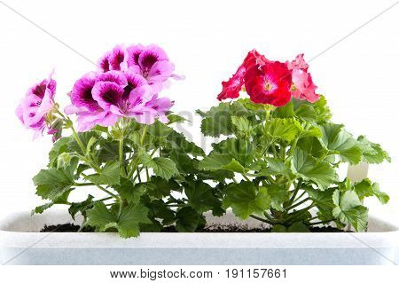 Two Bushes Of Blooming Pellargonium Growing In A Flower Pot Close-up.