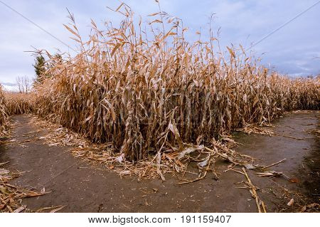 A fork in the Corn maze path