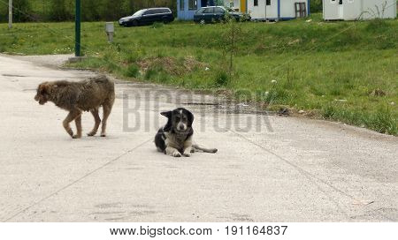 Two abandoned stray dogs on the road