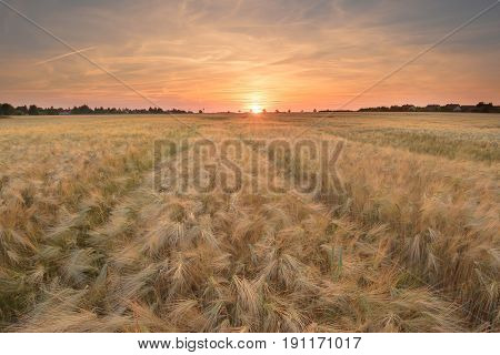 Sunset on golden cereal field. A cereal is any grass cultivated for the edible components of its grain (botanically, a type of fruit called a caryopsis), composed of the endosperm, germ, and bran.