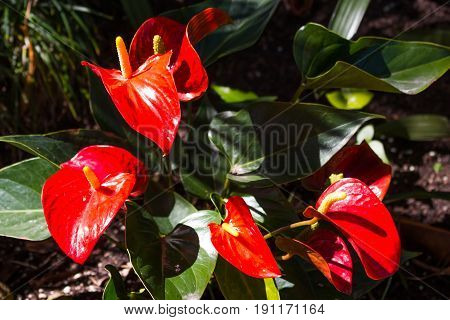 Anthurium is the largest genus of the arum family, Araceae. General common names include anthurium, tail flower, flamingo flower, painted tongue, and laceleaf.