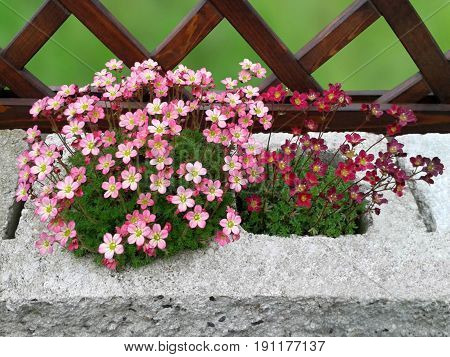 Background with saxifrage in a garden environment.