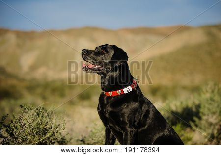 Black Labrador Retriever sitting in middle of desert with hills