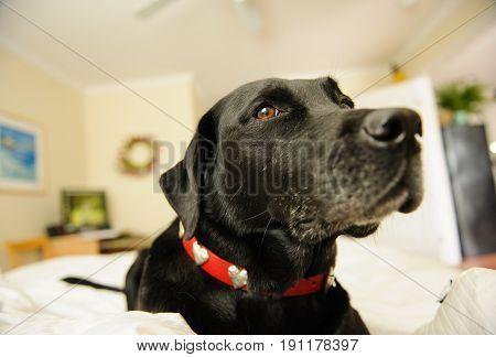 Black Labrador Retriever dog lying on bed in bedroom