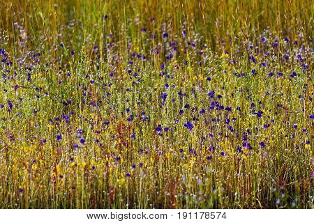 Utricularia delphinoides Thor.ex Pell. flower mix green grass at Mukdahan Nation Park Thailand.