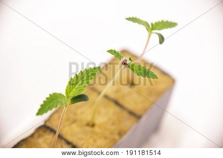 Macro detail of several cannabis sprouts on early stages or growth, isolated over white background - medical marijuana concept