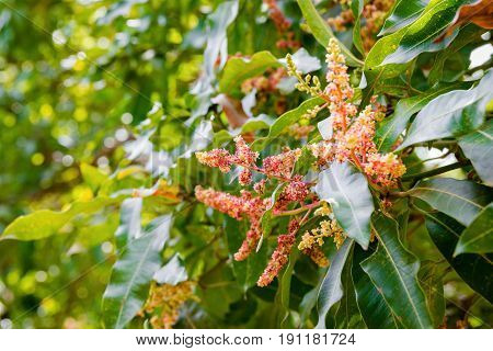 Mango tree flowering in bloom close up