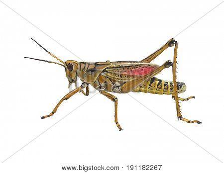 Digital Painting Of Southeastern Lubber Grasshopper on white background