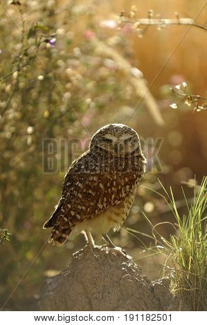 Burrowing Owl Backlit  with Soft, Sparkly Background