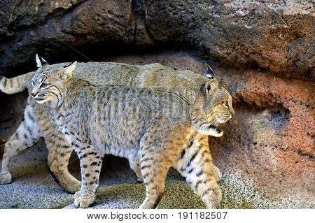 Bobcats Head to Tail in the Mountains