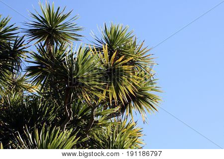 Cabbage tree with its green spiky leaves against a clear blue sky.