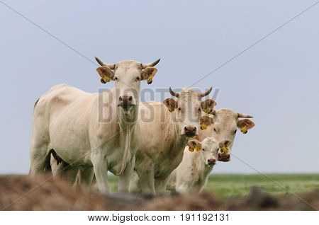 Cattle grazing on the Mud flats of the Noarderleech, Friesland, in the North of the Netherlands