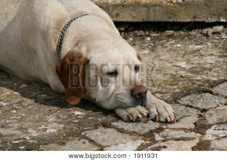 Old Dog Resting On Paws