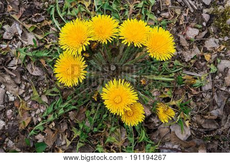 The first yellow dandelion flowers on the roadside .