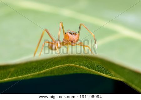 Close up female Myrmaplata plataleoides or jumping spider that mimics the Kerengga or weaver ant on green leaf