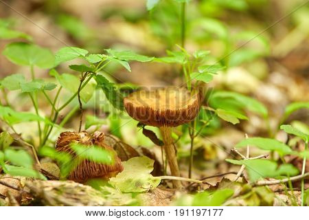 The deceiver mushroom (Laccaria laccata) on forest floor