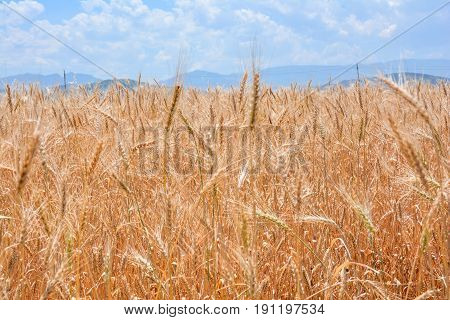 Farmer fields, sown with cereals. Gold wheat