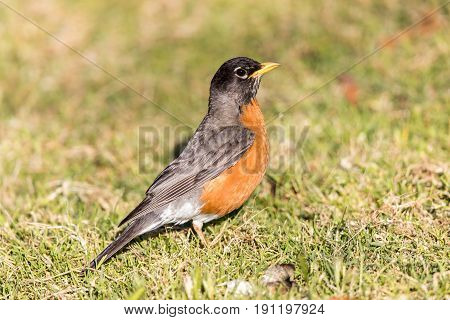 American Robin - Turdus migratorius, Adult Male, Santa Clara County, California, USA.