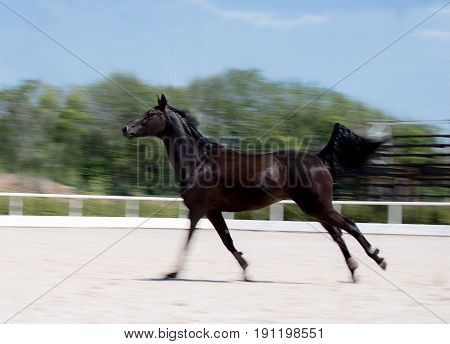 Black horse running at field in summer, motion blur background. Night-crow stallion galloping along the sand open riding arena. Beautiful black horse playing on the field.
