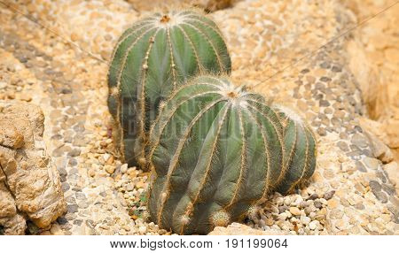 cactus in desert cactus on rock cactus Nature green background or wallpaper