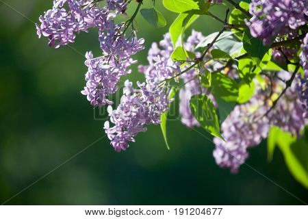 Purple lilac tree blooming in spring
