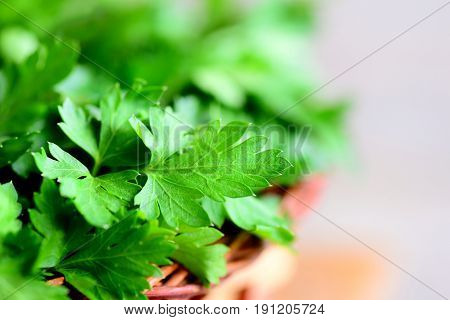 Green parsley leaves. Fresh parsley background. Closeup