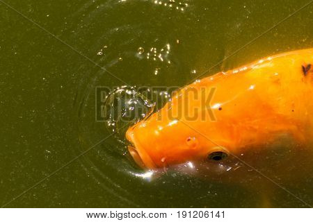 Laker gold fish with water drop and bubble