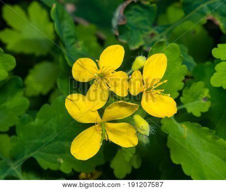 Flowers of greater celandine or tetterwort Chelidonium majus macro selective focus shallow DOF.