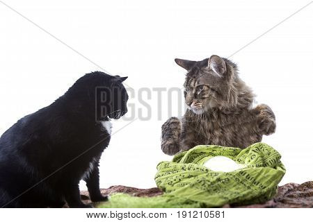 Cute cats with a crystal ball playing and pretending to be a psychic or a fortune teller. The image depicts adorable pets being funny with a Halloween theme. Isolated on a white background.