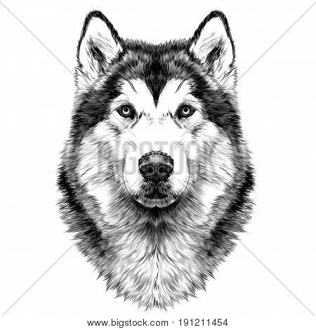 dog breed Alaskan Malamute head symmetry looks right sketch vector graphics black and white drawing