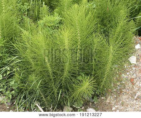 Equisetum Arvense. Horsetail. Equisetum. Snake Grass. Puzzlegrass