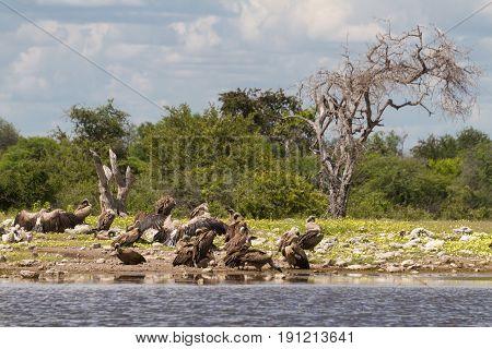 Vultures at a waterhole Etosha National Park Namibia Africa